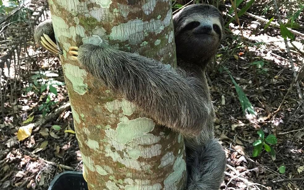 Bicho-preguiça é resgatado por bombeiros e levado para reserva natural na Bahia; FOTOS